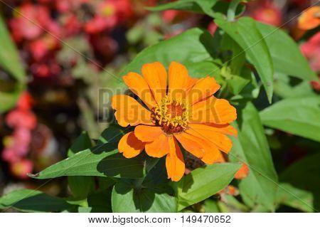 A Zinnia flower growing in the garden