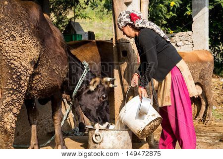 Pokhara, Nepal - November 21, 2014: A nepalese woman in a traditional dress feeding a cow on a rural farm