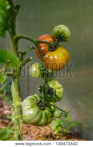 Tomatoes of different grades ripening in the greenhouse