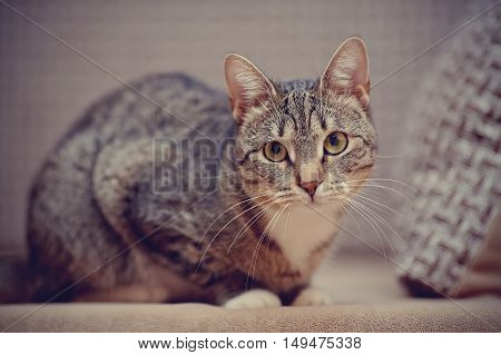 The domestic striped cat with white paws