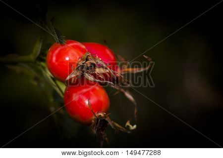 rose hips still growing on the plant