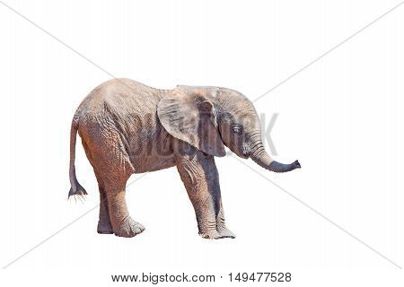 A tiny African Elephant calf Loxodonta africana isolated in white