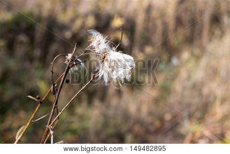 Dry seed herb dandelion. Autumn scene. Closeup photo