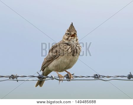 Crested lark (Galerida cristata) sitting on a barb wire singing