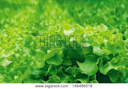 Fresh green salad leaves closeup. Salad texture