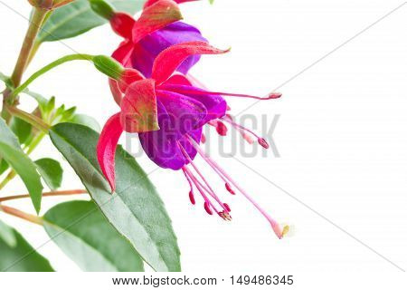 Fuchsia flower and leaves isolated on white background