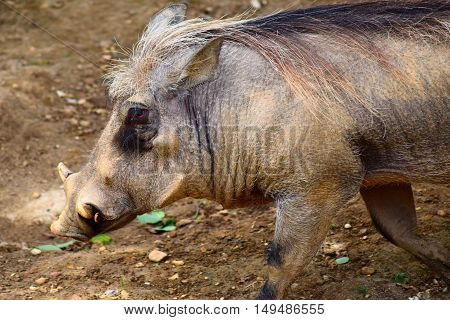 warthog pig animal close up head shot