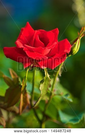 Red Rose with a blurred background taken in late summer and early autumn 2016 This photo  was taken on the first day the flower opened