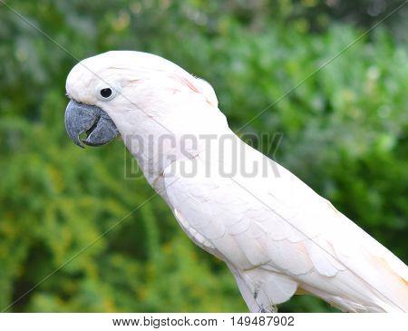 cute happy moluccan cockatoo parrot bird close up