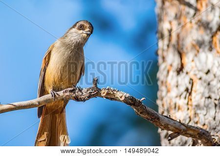 Curious siberian jay bird sitting on branch