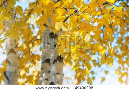 The branches of birch with yellow leaves in autumn park