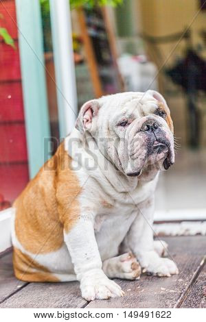 Old English Bulldog Sitting