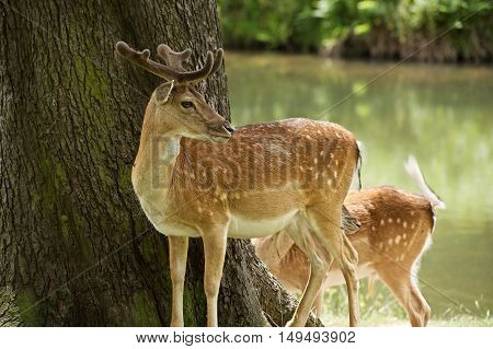 A photo of 2 Fallow deer, on Bradgate Park, it was a hot summers day, and many people about, but these deer are not afraid to be close to people. Close by, a meandering stream winds it's way in the background.   Bradgate was first enclosed as a deer park