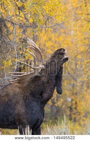 big shiras bull moose in rut in Wyoming in fall