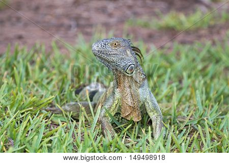 A juvenile green iguana is posing in the grass in South Florida