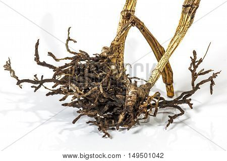 Dead Dry Pseudobulbs And Roots Of Cattleya Orchid