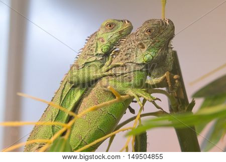 the green iguanas resting on a tree
