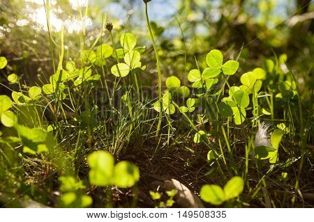 Clovers growing in nature and are illuminated by sunlight