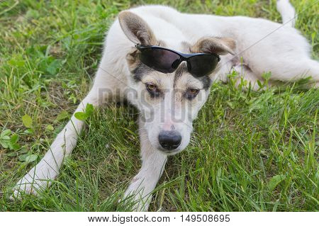 White mixed breed dog having summer vacation in fresh summer grass