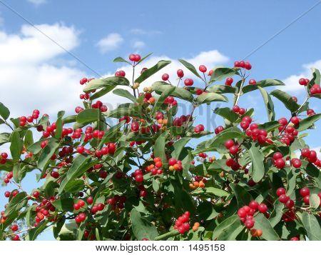 Berries Of A Honeysuckle