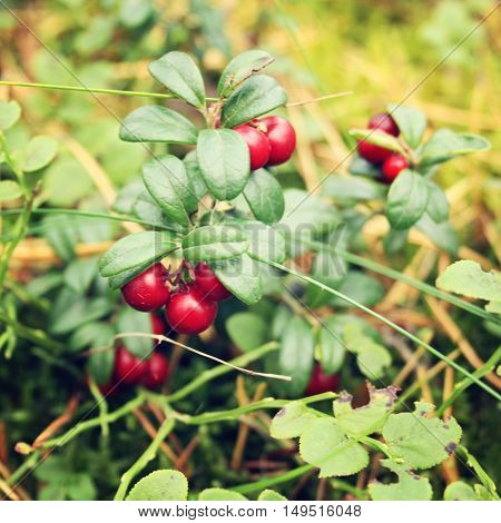 Deep red Lingonberry in the forest. Organic food. Cowberry in the nature. Autumn photo. Toned effect. Go Fruitarian! Go vegan!