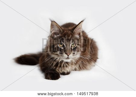 A pure breed Maine Coon kitten on a white background