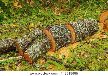A tree to cut for firewood.They will heat house.