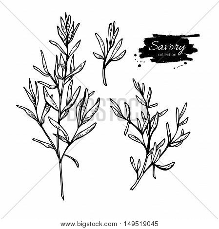 Savory vector hand drawn illustration set. Isolated spice object. Engraved style seasoning. Detailed organic product sketch. Cooking flavor ingredient. Great for label, sign, icon