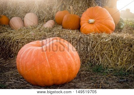 A close-up look at some large pumpkins on a haystack.