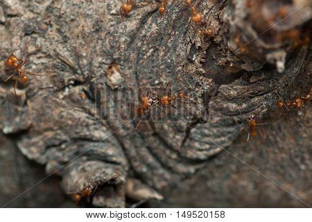 Leafcutter ants (Atta sexdens). Wildlife animal.
