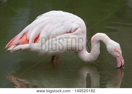 Greater flamingo (Phoenicopterus roseus). Wildlife animal.