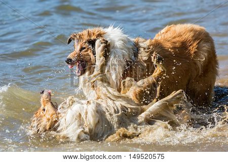 Aggressive Dogs Fighting In The Water