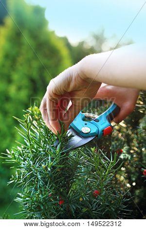 Gardener pruned yew shrub shears. Cut bush in the garden.