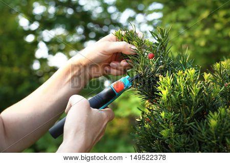 Cut bush in the garden. Forming a hedge of yew bushes. Gardener pruned yew shrub shears.
