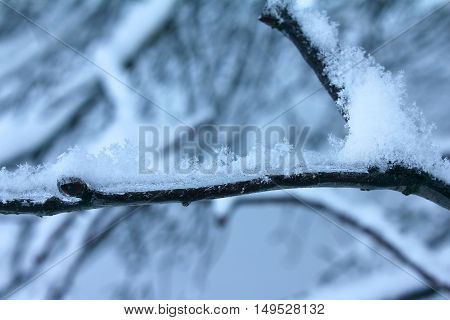 Snow covered winter icy tree branch. Snowflake closeup.