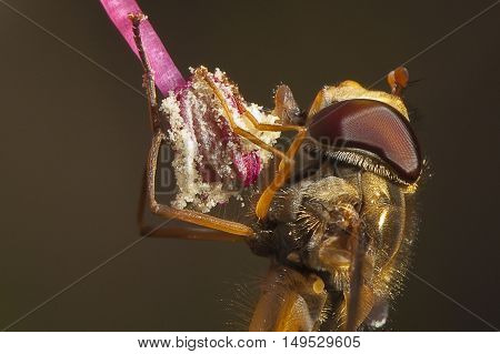 Closeup of a hoverfly (Episyrphus balteatus) feeding on the pollen of a Fuchsia flower