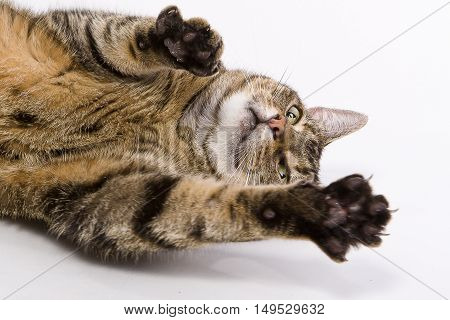 A cat spreading out its claws towards the viewer on a white background