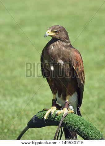 Harris Hawk - Parabuteo unicinctus Falconry bird at display