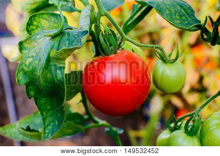 Organic tomato growing in vegetable garden. Tomato growing in open ground. Healthy food concept.
