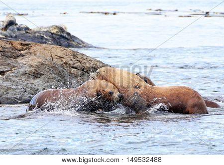 Steller Sea Lions Fighting on rock, Race Rock Marine Reserve, Victoria, B.C., Canada