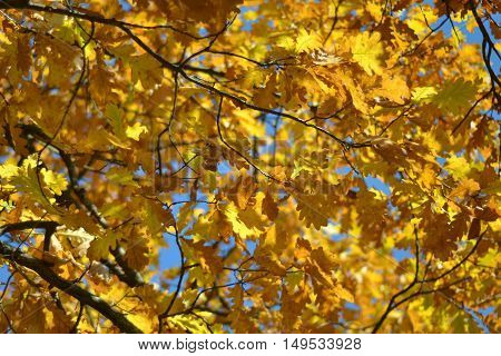 Fall autumn leaves background. A tree branch with autumn leaves