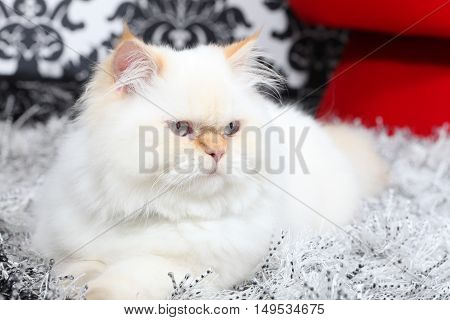 A White Persian aristocratic cat relaxing indoors