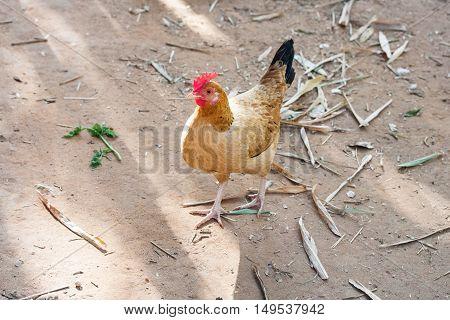 Orange chicken walking around on farm with leaves on ground