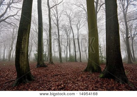 Misty Woods In Winter