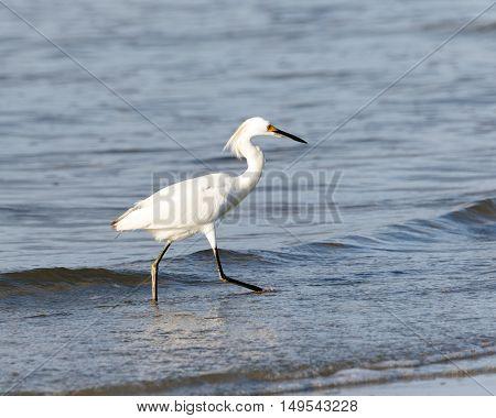 Snowy Egret walking on the beach in the ocean water