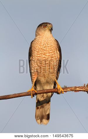 Coopers Hawk (Accipiter cooperii) in a tree with a blue background