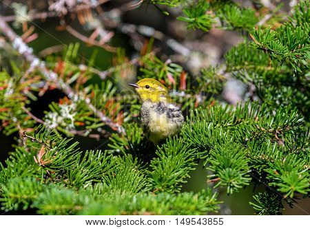 An abundant breeder of the northeastern boreal forests of Canada, the Black-throated Green Warbler is easy to recognize by sight and sound. Its dark black bib and bright yellow face.