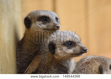 three cute meerkats head shot close up animals