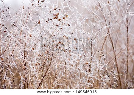 frost on the branches, white winter background