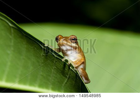 Close up golden tree frog on tree at Phuket Province .Thailand